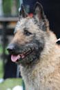 Shepherd's Dogmate King George